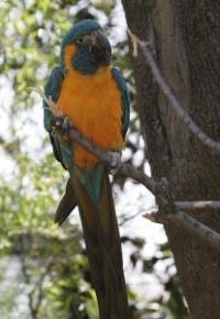 ara kaninda - Roman Strouhal  - svět papoušků