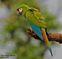 ara marakána - Roman Strouhal  - svět papoušků