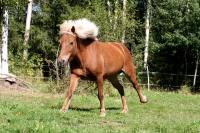 islandský pony - foto - Zuzana Čapčuchová - fotouza.com