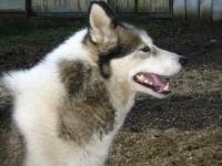 Grónský pes - foto Božena Pražáková