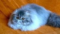 kočka Aditi - chovatel jasmna
