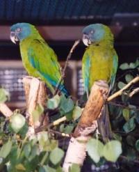 ara horský - Roman Strouhal  - svět papoušků