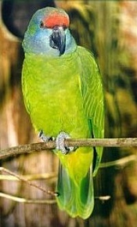 amazoňan modrobradý - Roman Strouhal  - svět papoušků