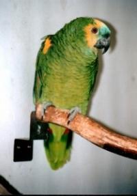 amazoňan modročelý - Roman Strouhal  - svět papoušků