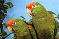 aratinga skvrnitý - Roman Strouhal  - svět papoušků