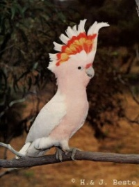 kakadu inka - Roman Strouhal  - svět papoušků