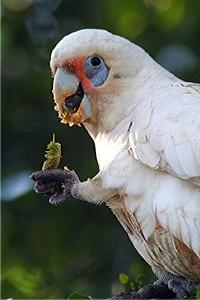 kakadu naholící - Roman Strouhal  - svět papoušků