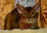 Aster Dandi G.H.- Habešská kočka - foto: Agnia Müllerová