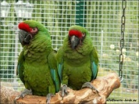 ara vojenský - Roman Strouhal  - svět papoušků