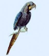 ara tyrkysový - Roman Strouhal  - svět papoušků