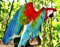 ara zelenokřídlý - Roman Strouhal  - svět papoušků