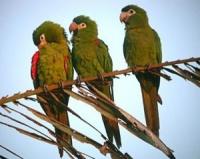 ara červenoramenný - Roman Strouhal  - svět papoušků