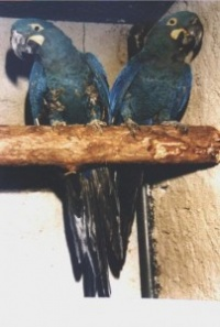 ara kobaltový - Roman Strouhal  - svět papoušků