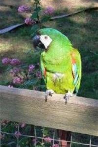ara malý - Roman Strouhal  - svět papoušků