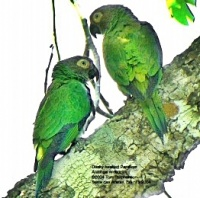 aratinga tmavohlavý - Roman Strouhal  - svět papoušků
