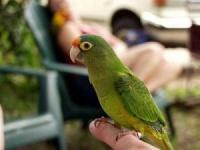 aratinga oranžovočelý - Roman Strouhal  - svět papoušků
