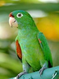 aratinga rudočelý - Roman Strouhal  - svět papoušků