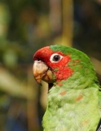 aratinga škraboškový - Roman Strouhal  - svět papoušků