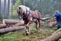 českomoravský belgický kůň - foto: Helena Görnerová - equichannel.cz