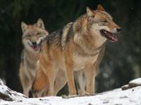 vlk - lovy fotoaparátem - foto: Václav Přibáň