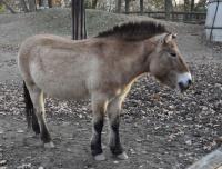 kůň Převalského - Zoo Brno