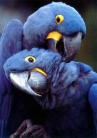 ara hyacintový - Roman Strouhal  - svět papoušků