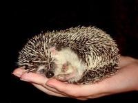 ježek bělobřichy - foto: Iveta Valná
