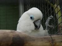 kakadu brýlový - Roman Strouhal  - svět papoušků