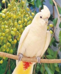 kakadu filipínský - Roman Strouhal  - svět papoušků