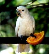 kakadu goffinův - Roman Strouhal  - svět papoušků