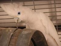 kakadu šalamounský - Roman Strouhal  - svět papoušků