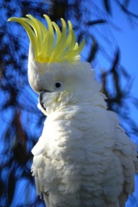 kakadu žlutočečelatý - Roman Strouhal  - svět papoušků