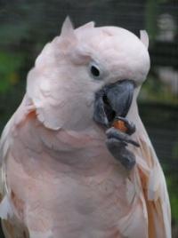 kakadu molucký - Roman Strouhal  - svět papoušků