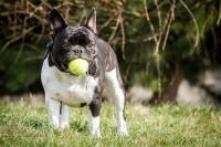 malá dogovitá plemena psů - foto: Aneta Jungová