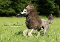 pes pudl - foto: Zuzana Landnerová - FotoZuZa