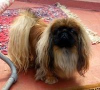 pekingský palácový psík Koiboto Yume