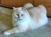 ragdoll - kočka Farinka - foto: Petra Dušková,  ragdoll - ragbur