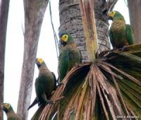 ara rudobřichý - Roman Strouhal  - svět papoušků