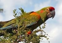 ara červenouchý  - Roman Strouhal  - svět papoušků