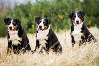 Švýcarští salašničtí psi - foto: Aneta Jungerová