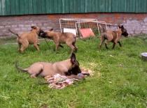 štěňata na zahradě