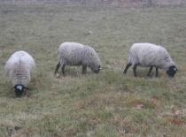Ovce romanovske 1