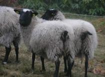 Ovce- více na kamerunskeovce.blog.cz